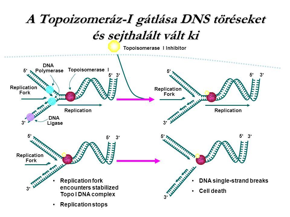 A Topoizomeráz-I gátlása DNS töréseket és sejthalált vált ki