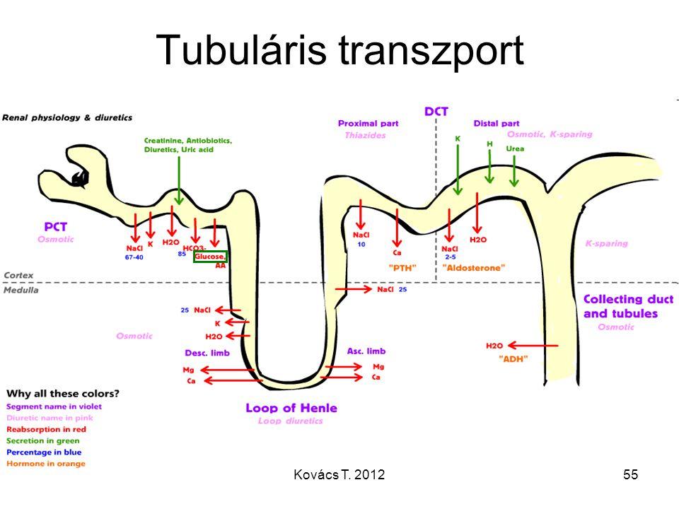 Tubuláris transzport Kovács T. 2012