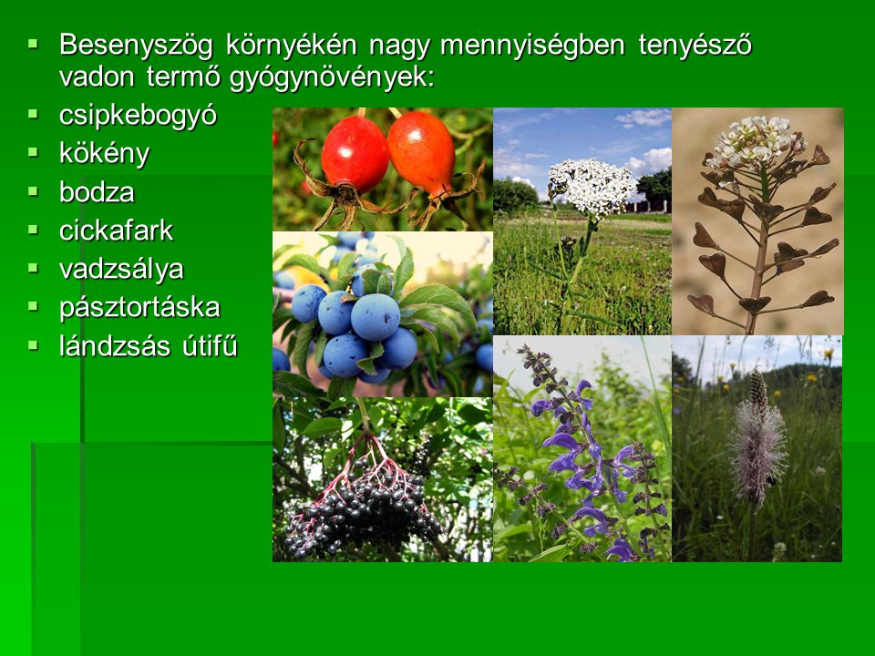 Besenyszög környékén nagy mennyiségben tenyésző vadon termő gyógynövények: