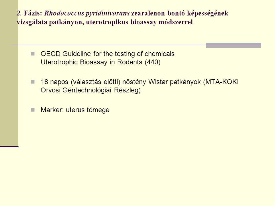 2. Fázis: Rhodococcus pyridinivorans zearalenon-bontó képességének vizsgálata patkányon, uterotropikus bioassay módszerrel