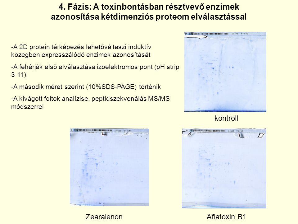 4. Fázis: A toxinbontásban résztvevő enzimek azonosítása kétdimenziós proteom elválasztással