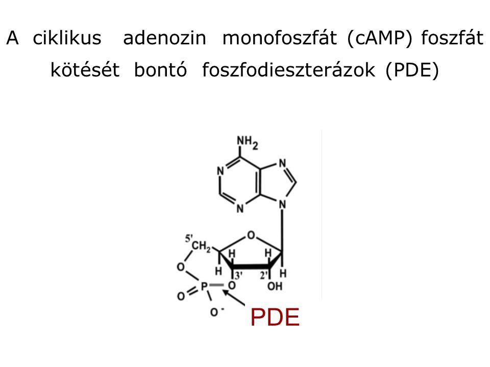 A ciklikus adenozin monofoszfát (cAMP) foszfát kötését bontó foszfodieszterázok (PDE)
