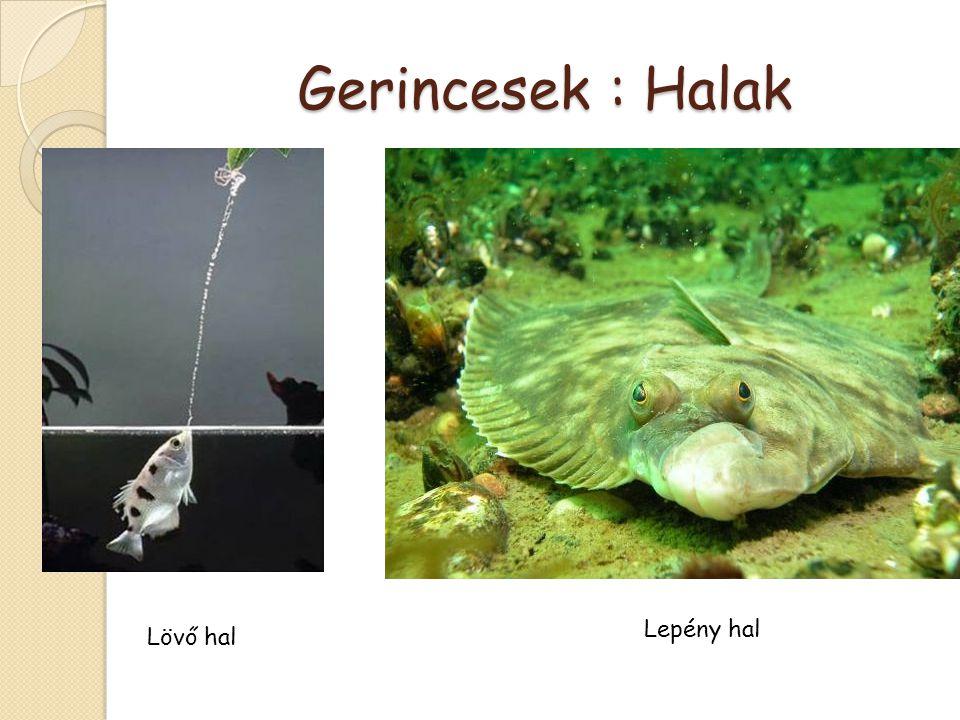 Gerincesek : Halak Lepény hal Lövő hal