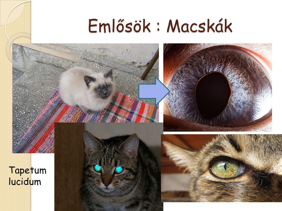 Emlősök : Macskák Tapetum lucidum