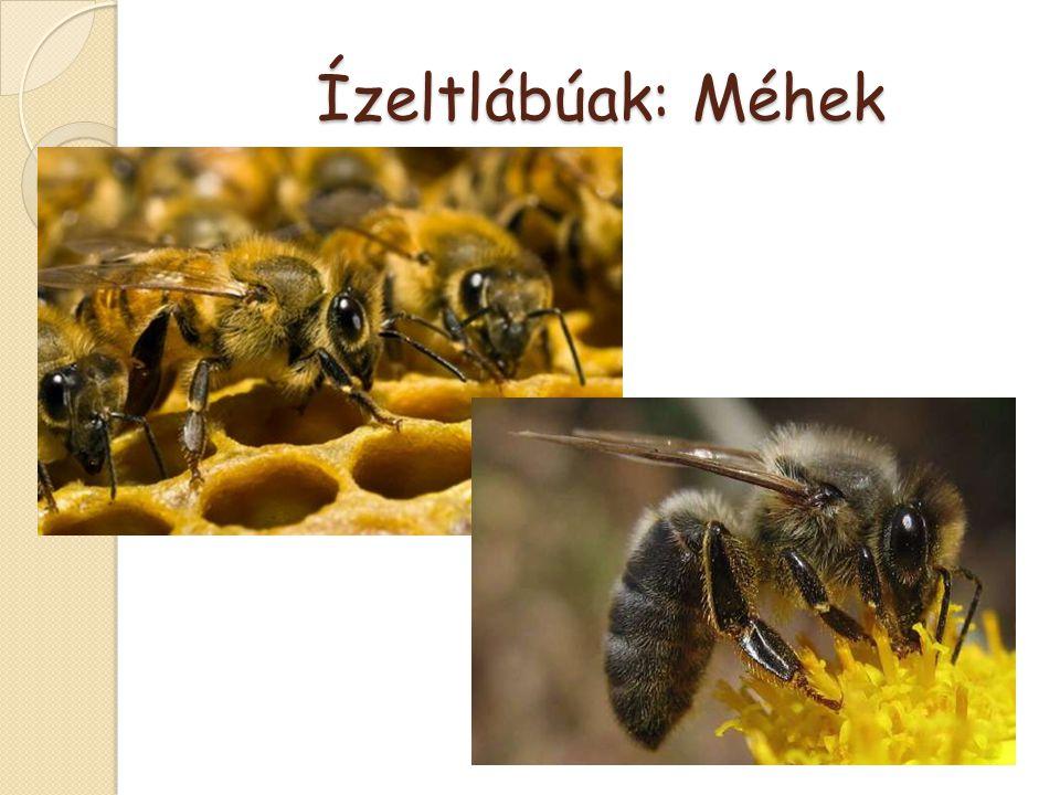 Ízeltlábúak: Méhek