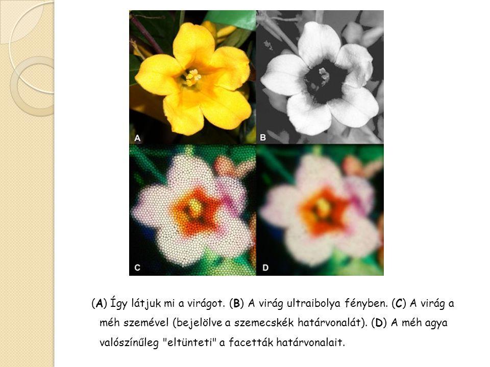(A) Így látjuk mi a virágot. (B) A virág ultraibolya fényben