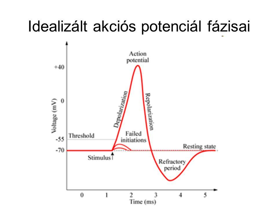 Idealizált akciós potenciál fázisai