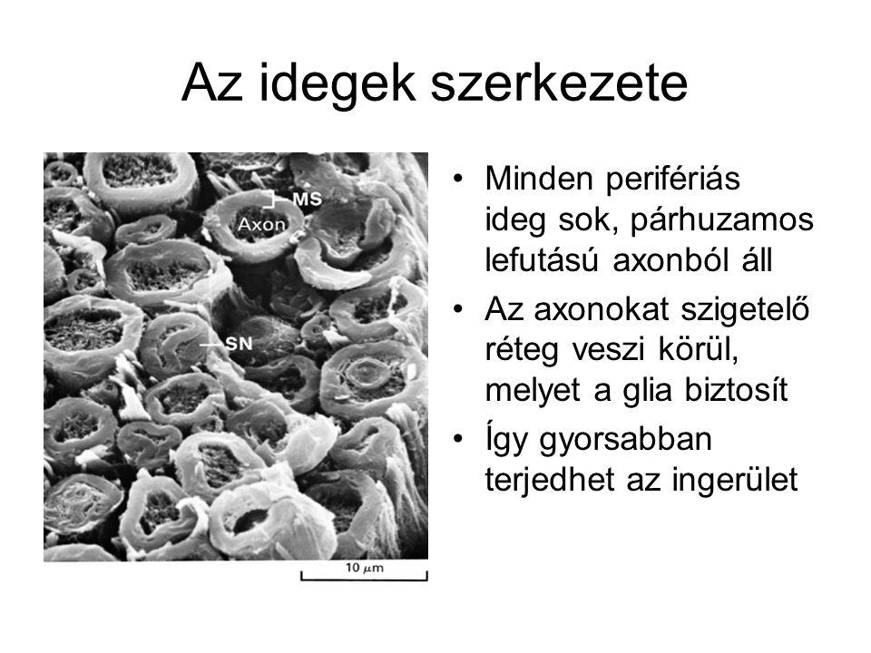 Az idegek szerkezete Minden perifériás ideg sok, párhuzamos lefutású axonból áll. Az axonokat szigetelő réteg veszi körül, melyet a glia biztosít.