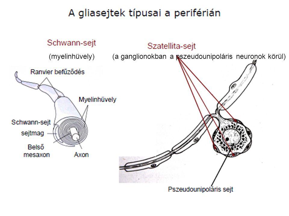 (myelinhüvely) (a ganglionokban a pszeudounipoláris neuronok körül)