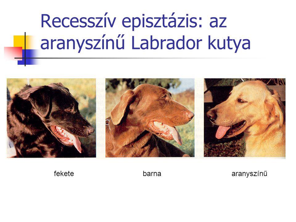 Recesszív episztázis: az aranyszínű Labrador kutya
