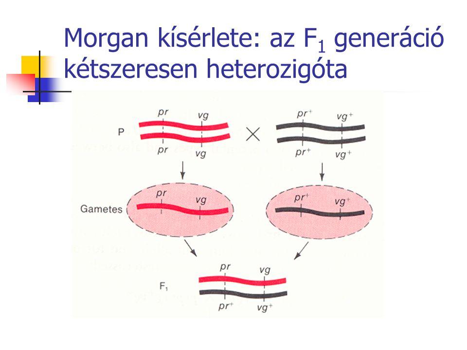 Morgan kísérlete: az F1 generáció kétszeresen heterozigóta