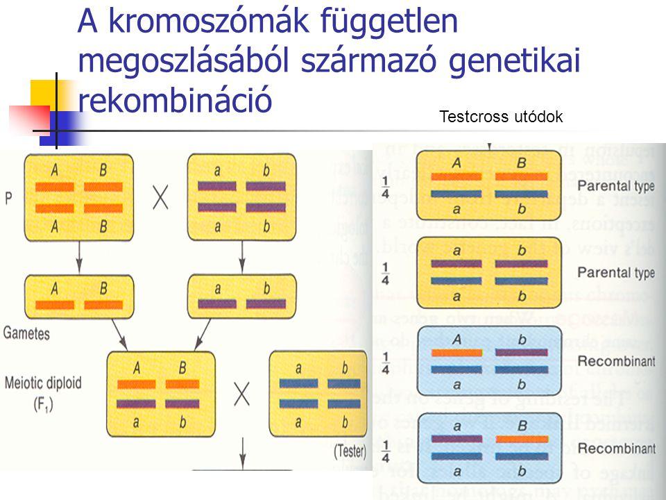 A kromoszómák független megoszlásából származó genetikai rekombináció