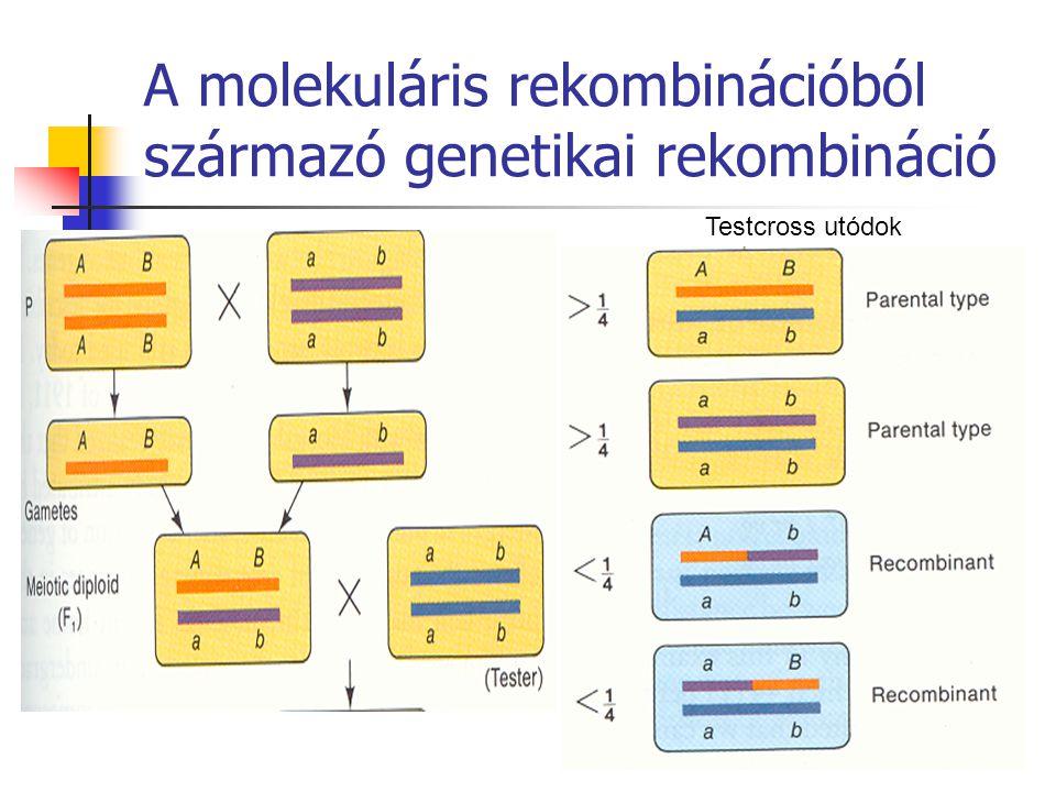 A molekuláris rekombinációból származó genetikai rekombináció