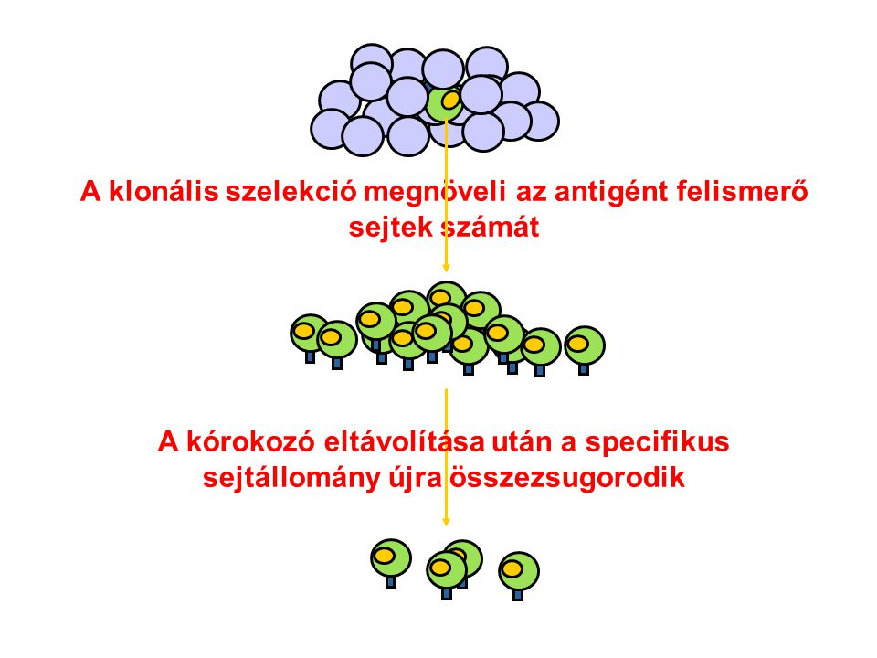 A klonális szelekció megnöveli az antigént felismerő sejtek számát