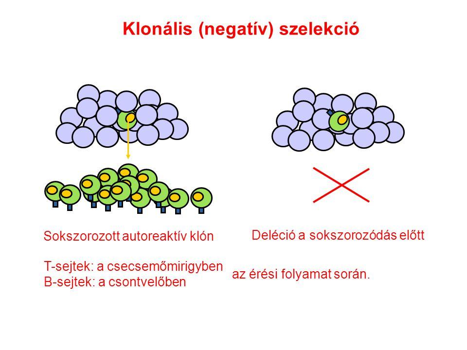 Klonális (negatív) szelekció