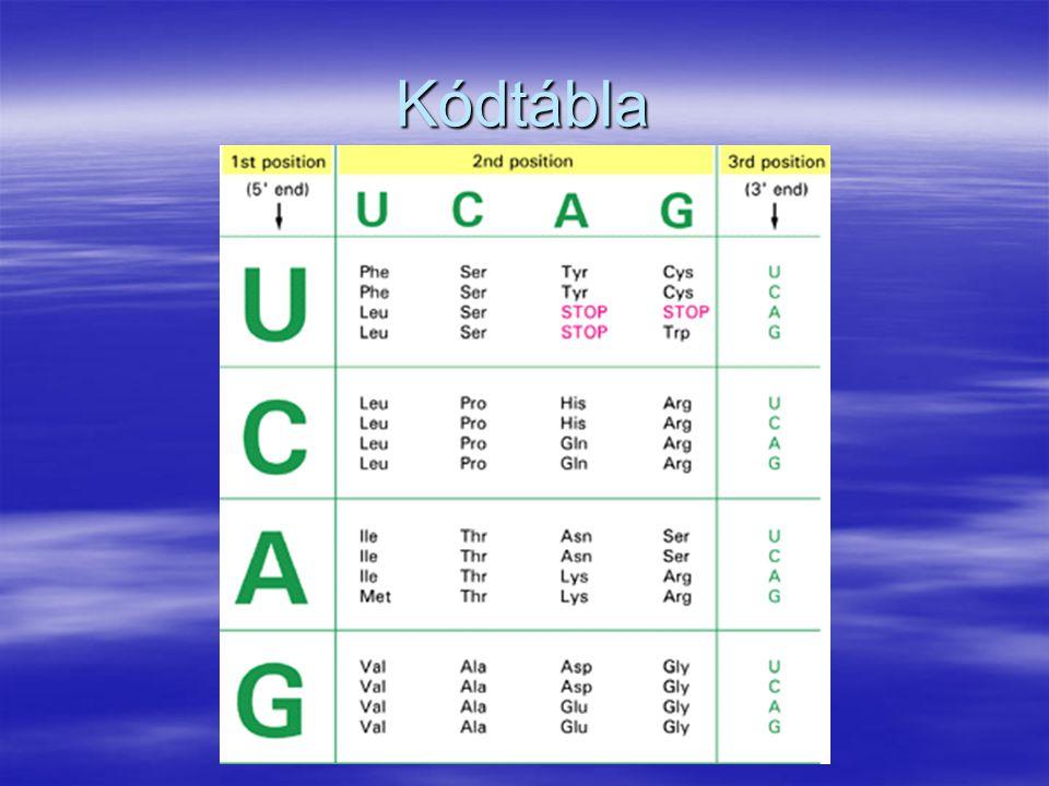 Kódtábla genetikai kód - tulajdonképpen egy jelkulcs. Három bázisból álló csoport (kodon), mely egy adott aminosavat kódol.