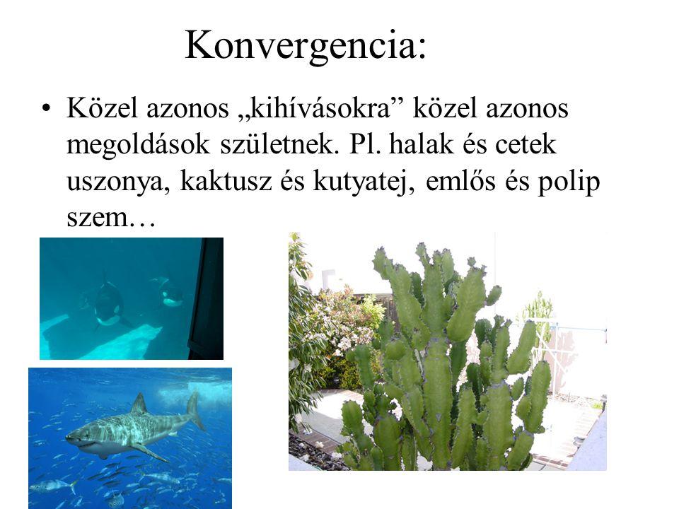 """Konvergencia: Közel azonos """"kihívásokra közel azonos megoldások születnek. Pl. halak és cetek uszonya, kaktusz és kutyatej, emlős és polip szem…"""