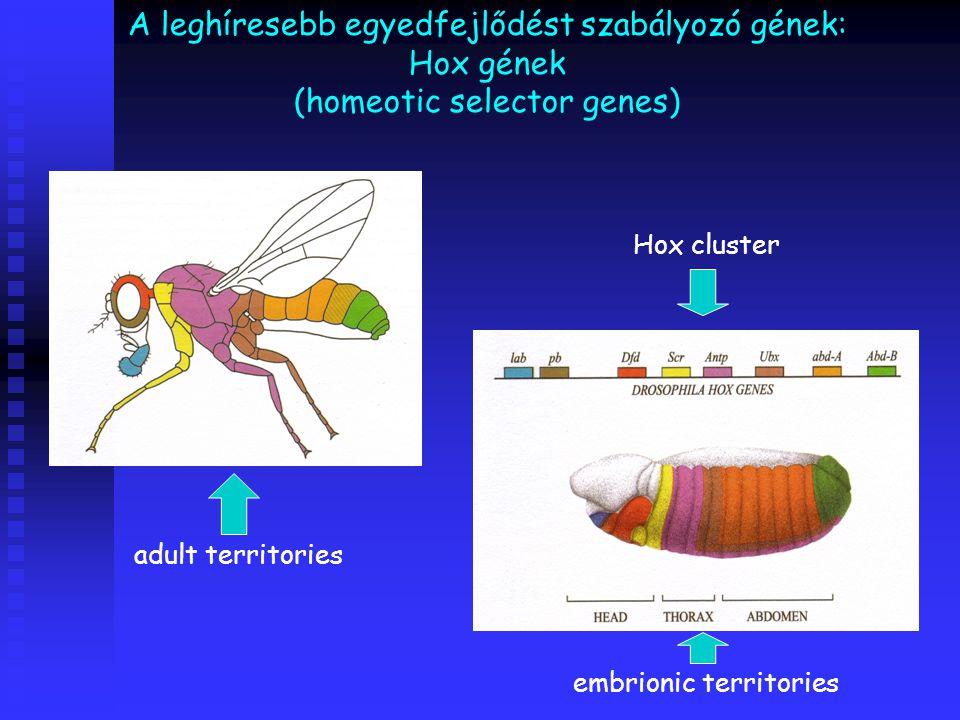 A leghíresebb egyedfejlődést szabályozó gének: Hox gének (homeotic selector genes)