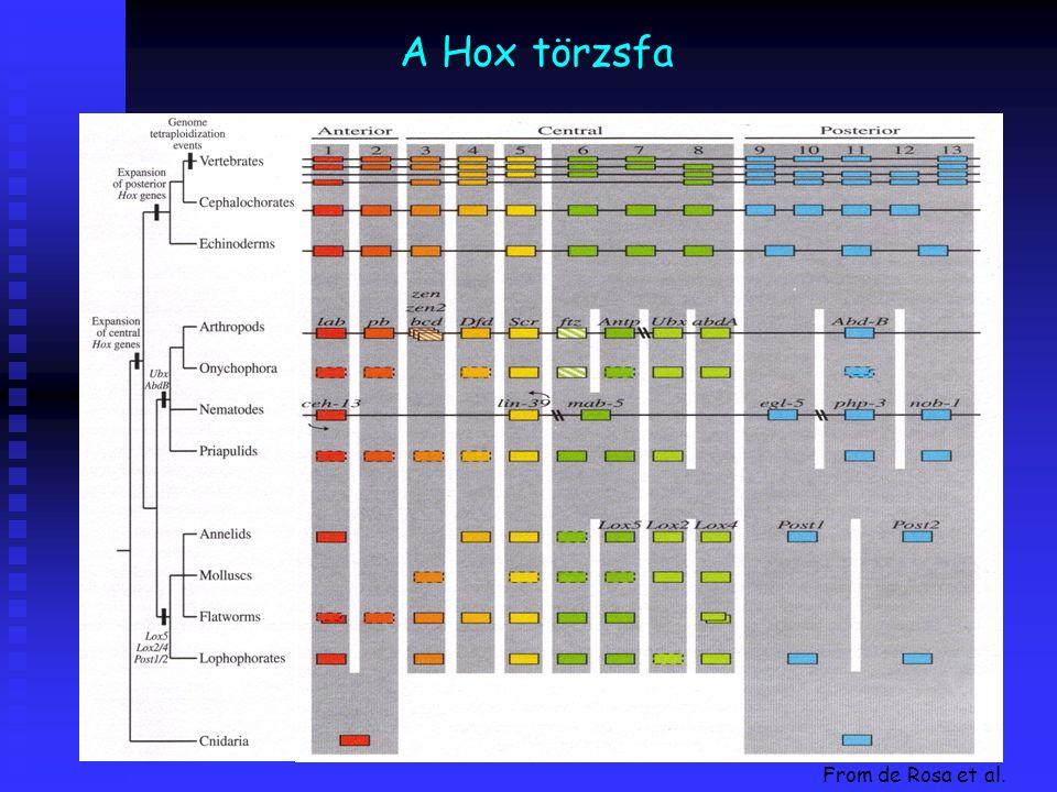 A Hox törzsfa From de Rosa et al.