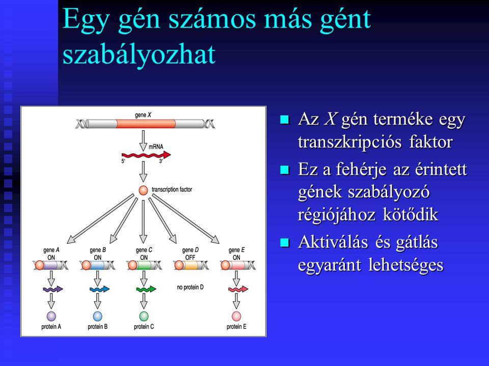 Egy gén számos más gént szabályozhat