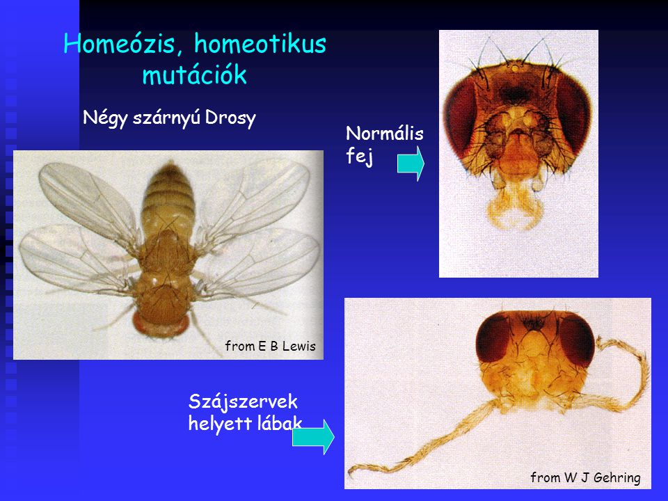 Homeózis, homeotikus mutációk