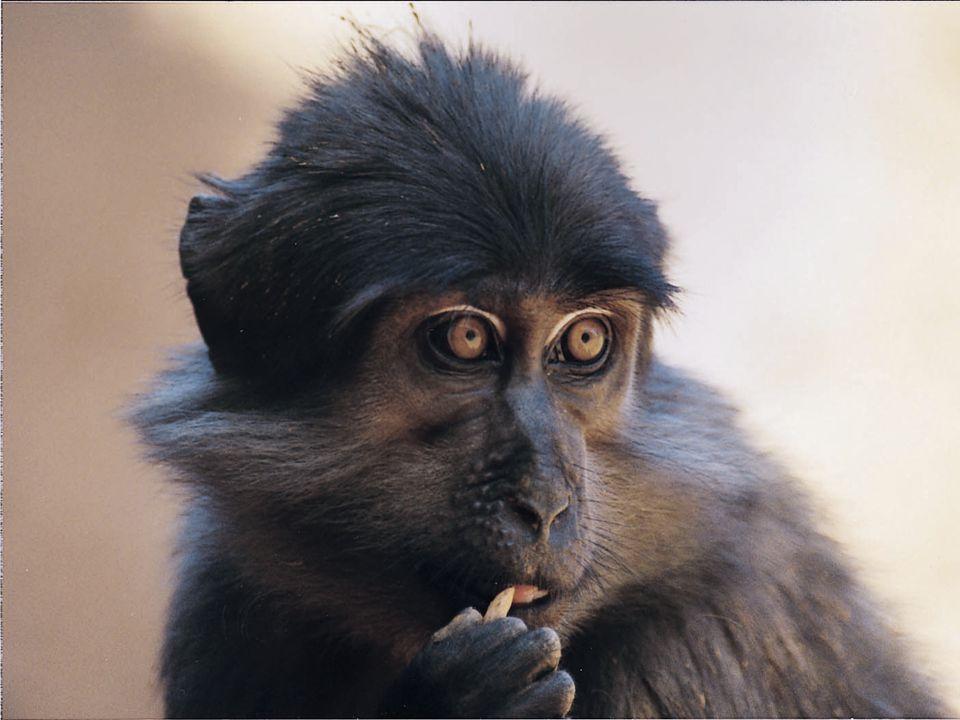 A HIV-2 őse pedig a kormos mangábé vírusa.