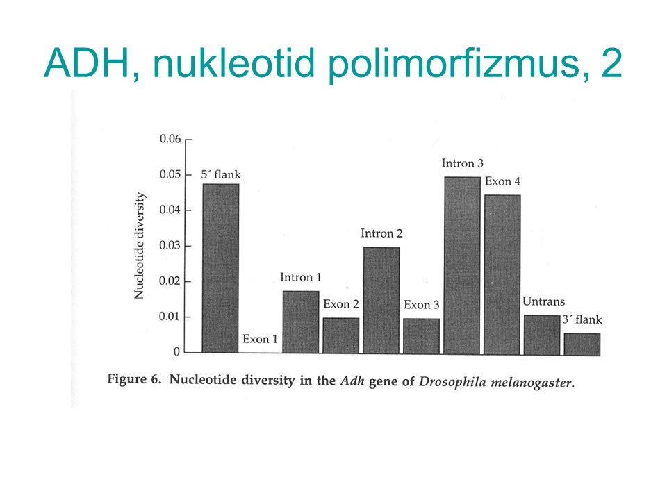 ADH, nukleotid polimorfizmus, 2