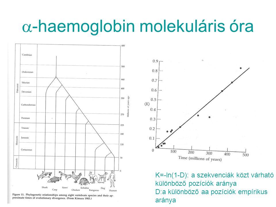 -haemoglobin molekuláris óra