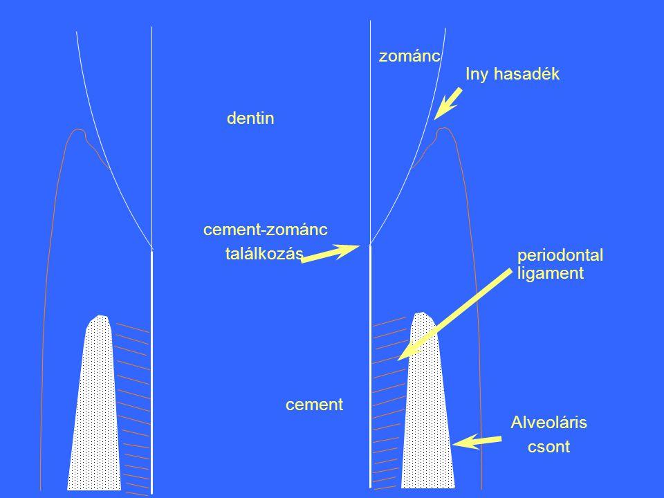 zománc Iny hasadék dentin cement-zománc találkozás periodontal ligament cement Alveoláris csont