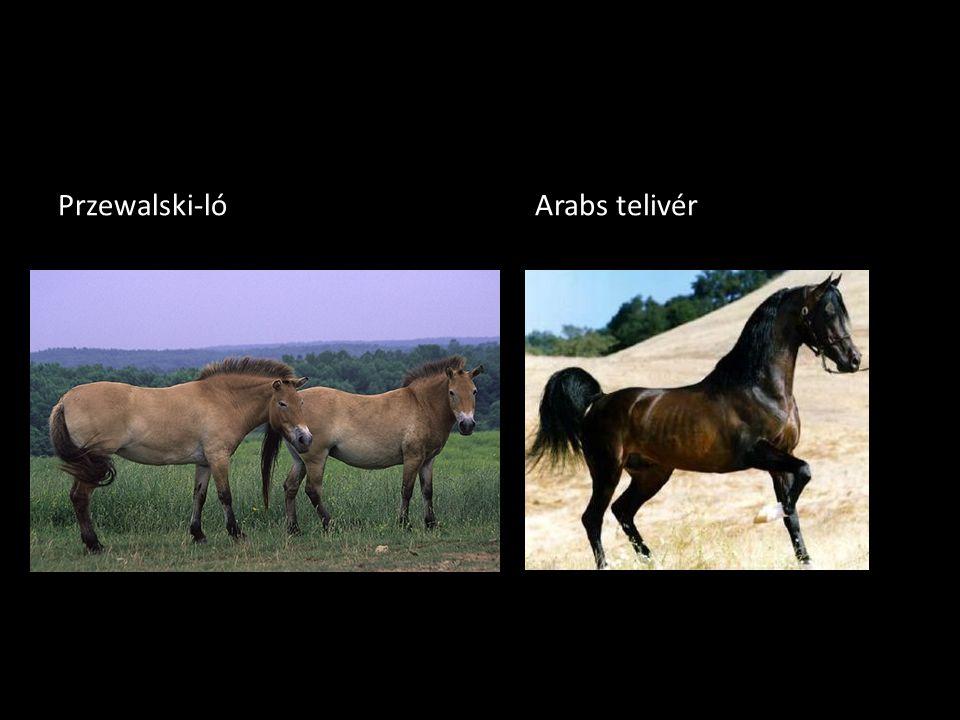 Przewalski-ló Arabs telivér