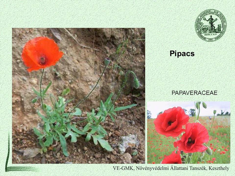 Pipacs PAPAVERACEAE