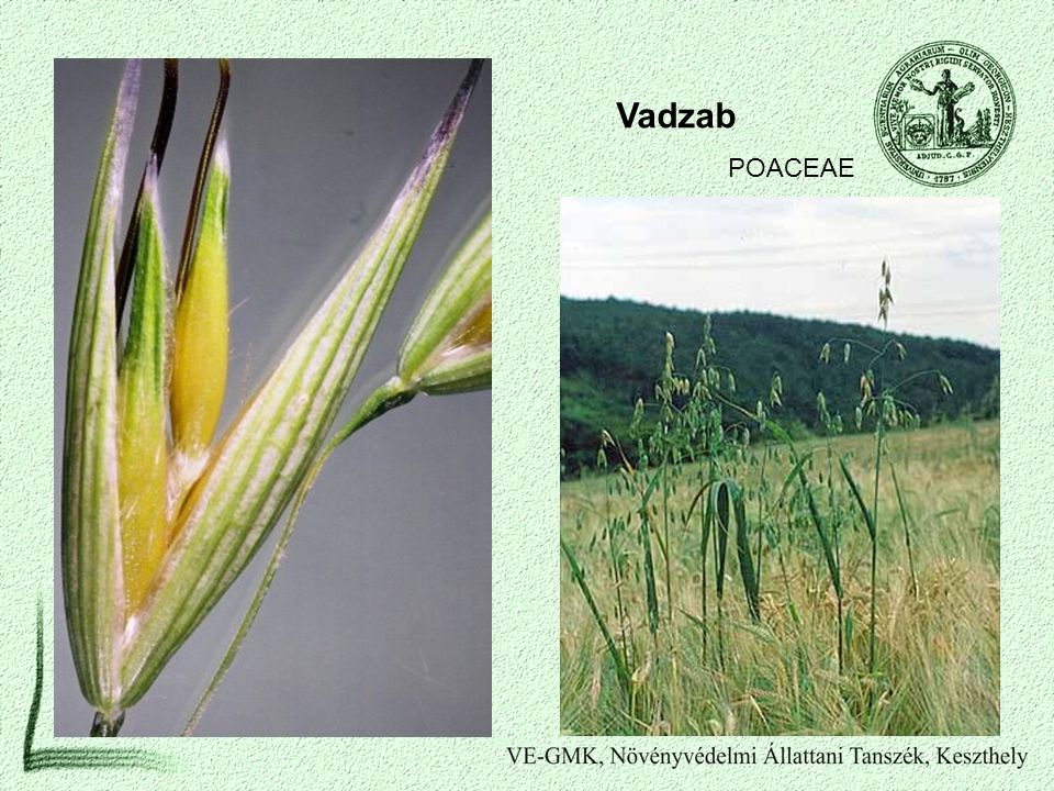 Vadzab POACEAE