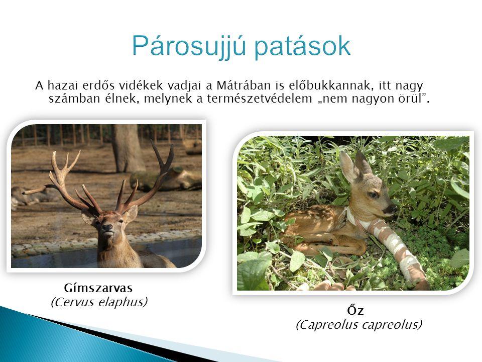 (Capreolus capreolus)