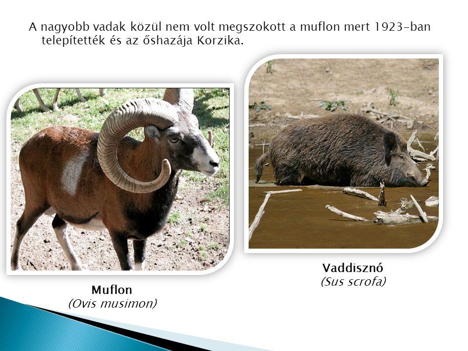 A nagyobb vadak közül nem volt megszokott a muflon mert 1923-ban telepítették és az őshazája Korzika.