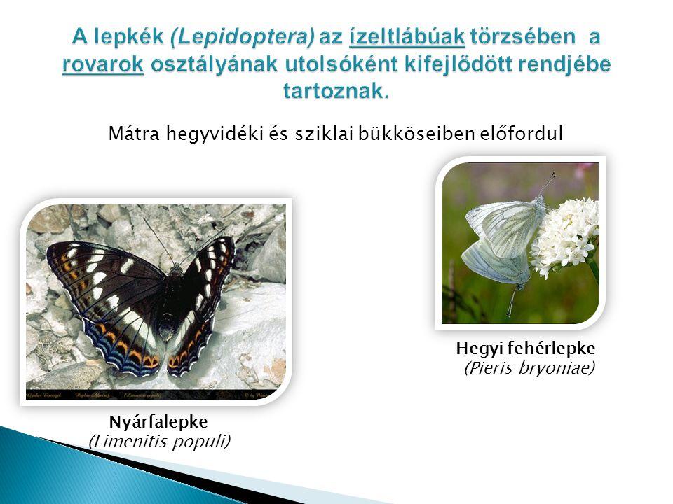 A lepkék (Lepidoptera) az ízeltlábúak törzsében a rovarok osztályának utolsóként kifejlődött rendjébe tartoznak.