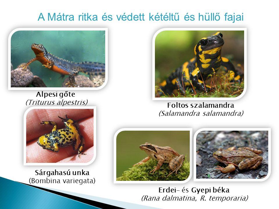 A Mátra ritka és védett kétéltű és hüllő fajai