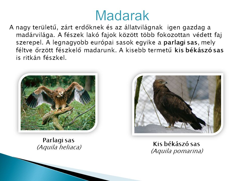 Kis békászó sas (Aquila pomarina)