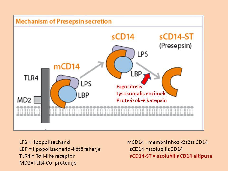 Fagocitosis Lysosomalis enzimek. Proteázok→ katepsin. LPS = lipopolisacharid. LBP = lipopolisacharid -kötő fehérje.