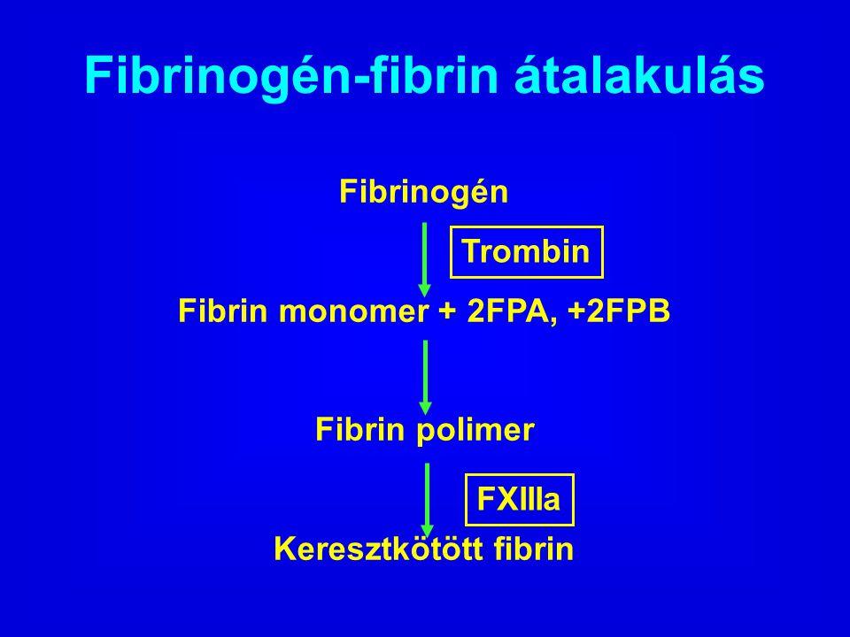 Fibrinogén-fibrin átalakulás Fibrin monomer + 2FPA, +2FPB