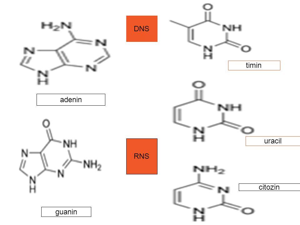 DNS timin adenin uracil RNS citozin guanin