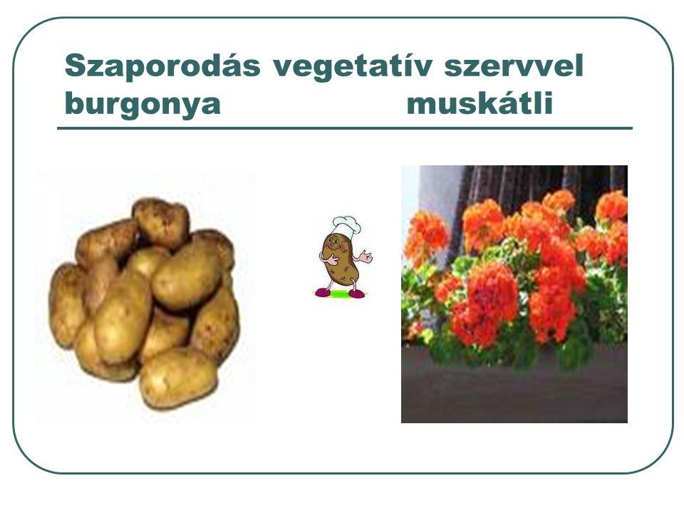 Szaporodás vegetatív szervvel burgonya muskátli