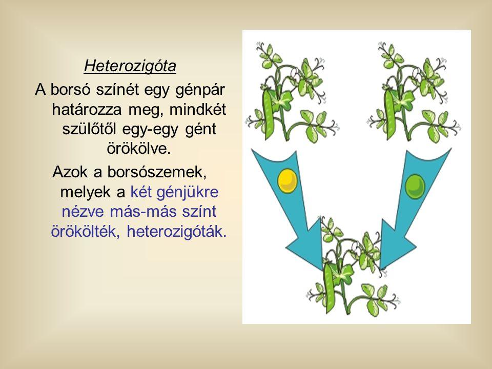 Heterozigóta A borsó színét egy génpár határozza meg, mindkét szülőtől egy-egy gént örökölve.