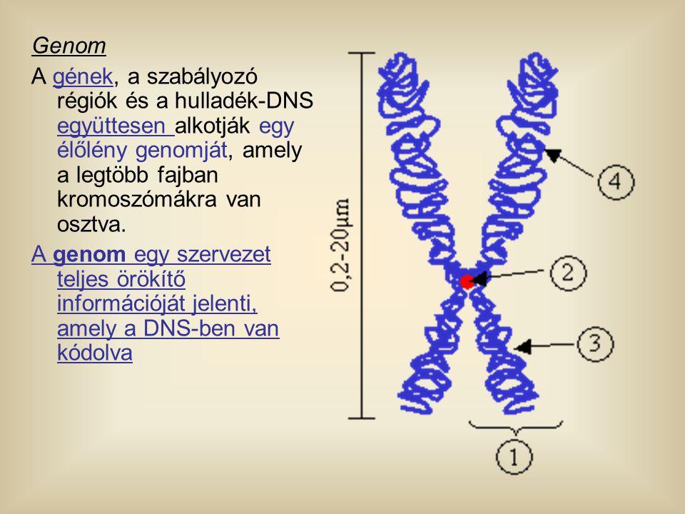 Genom A gének, a szabályozó régiók és a hulladék-DNS együttesen alkotják egy élőlény genomját, amely a legtöbb fajban kromoszómákra van osztva.