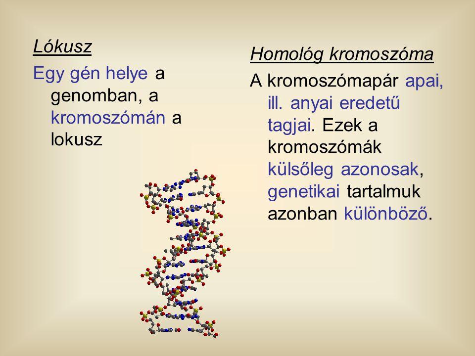 Lókusz Egy gén helye a genomban, a kromoszómán a lokusz. Homológ kromoszóma.