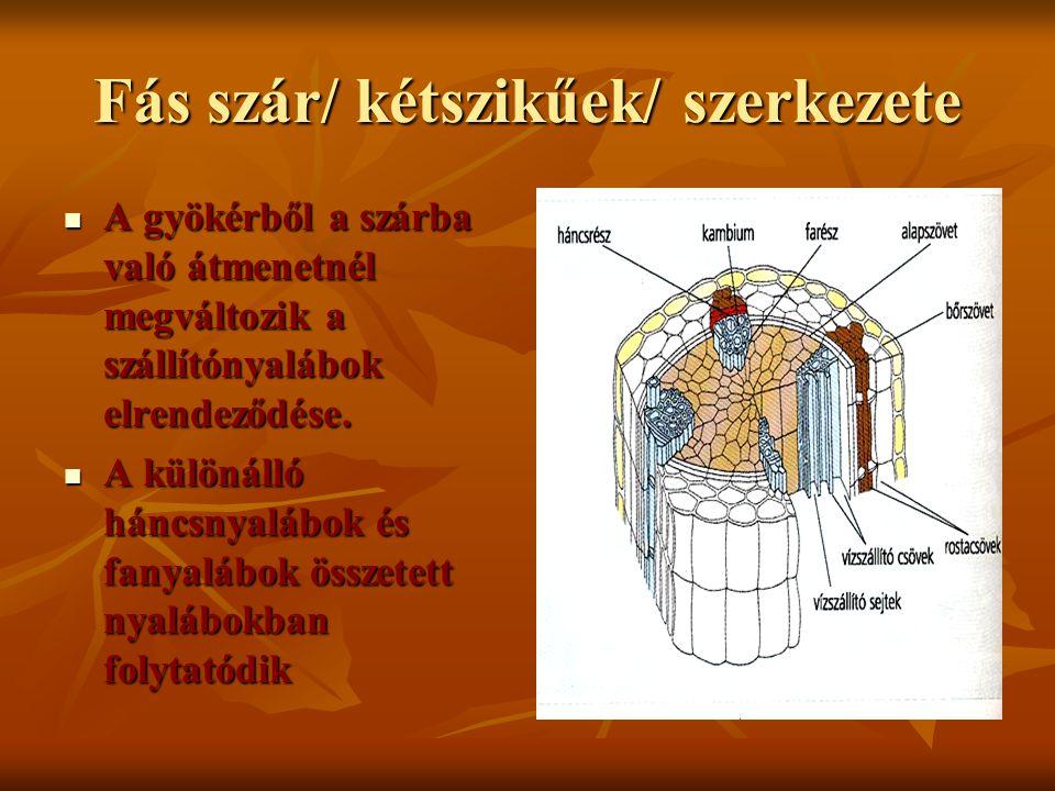 Fás szár/ kétszikűek/ szerkezete