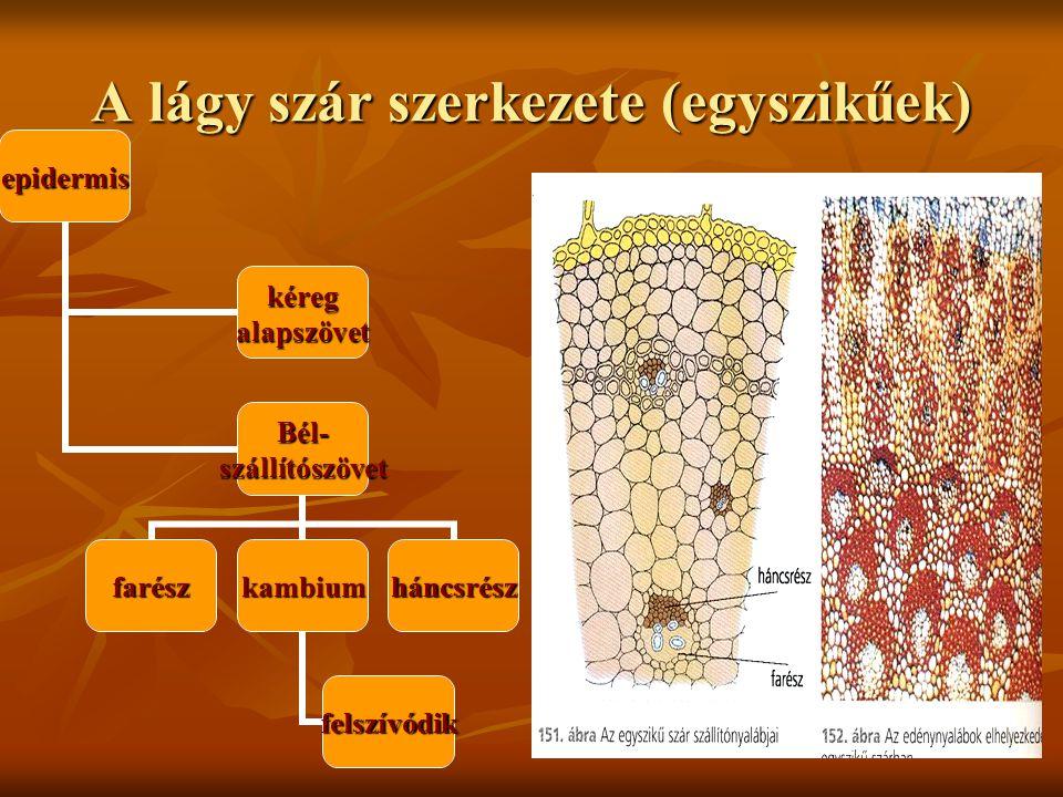 A lágy szár szerkezete (egyszikűek)