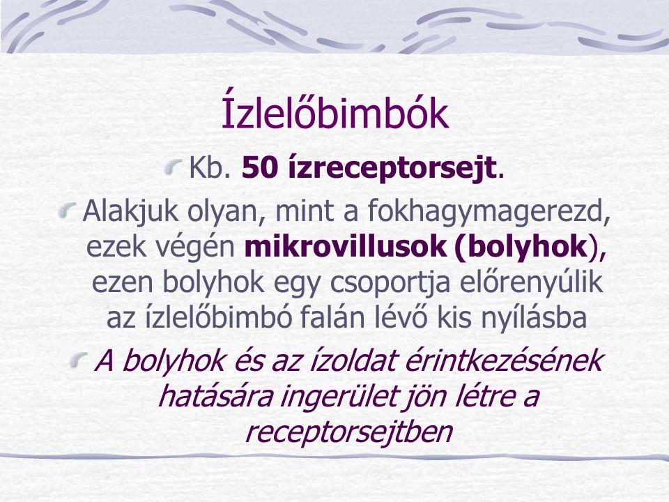 Ízlelőbimbók Kb. 50 ízreceptorsejt.