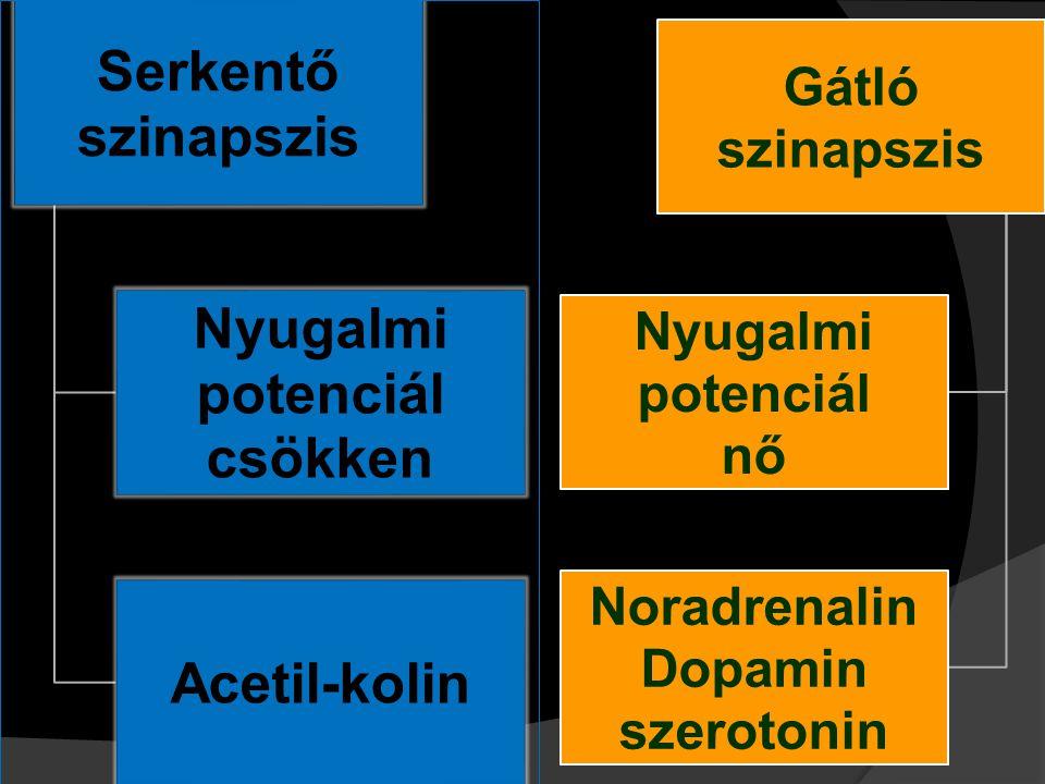 Serkentő szinapszis Nyugalmi potenciál. csökken. Acetil-kolin. Gátló szinapszis. Nyugalmi potenciál.