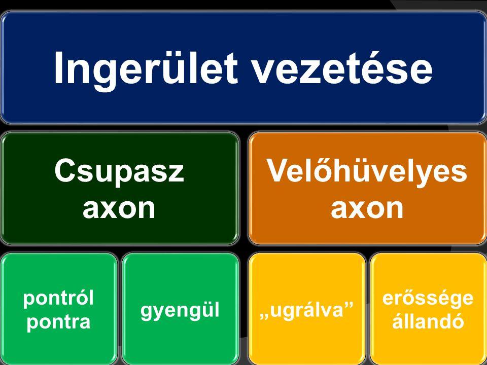 """Ingerület vezetése Csupasz axon pontról pontra gyengül Velőhüvelyes axon """"ugrálva állandó erőssége"""
