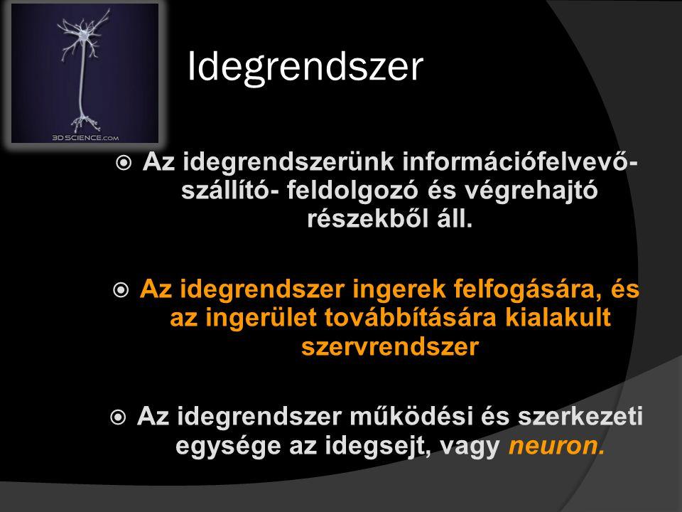 Idegrendszer Az idegrendszerünk információfelvevő-szállító- feldolgozó és végrehajtó részekből áll.